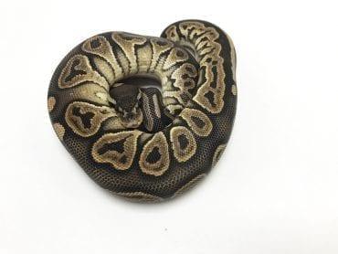Male Banana Mojave Ghost Royal Python CB18