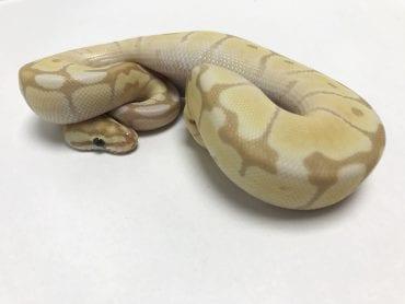 Male Banana Mojave Spider het Ghost Royal Python CB18