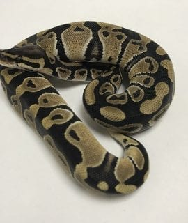 Male Banana het Ghost Royal Python CB18