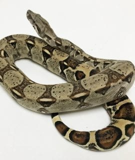 Common Boa CB18