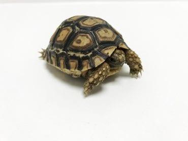 Leopard Tortoise CB18