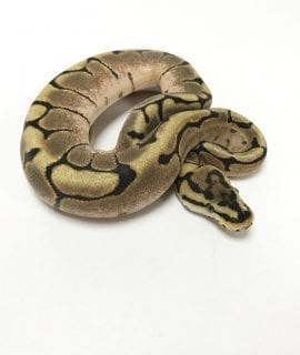 Male Spider Royal Python CB18