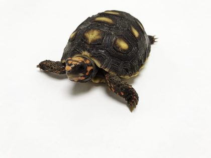 Our Red Foot Tortoise Care Sheet