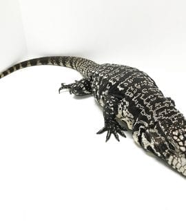 Female Sub Adult Argentine Black & White Tegu CB