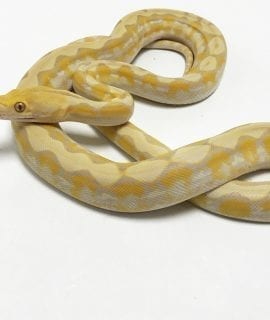 Male Toffee Dwarf Reticulated Python CB18