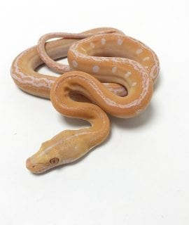 Male White Goldenchild Mainland Reticulated Python CB19