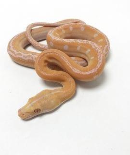 Male White Goldenchild Mainland Reticulated Python CB19