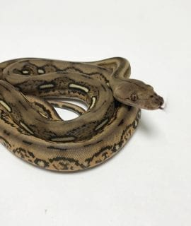 Male Citron Tiger het Albino Mainland Reticulated Python CB19