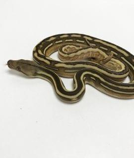 Male Phantom Tiger poss het Anthrax Dwarf Reticulated Python CB19