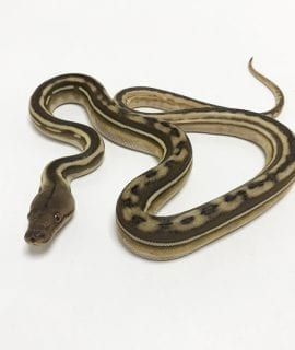 Female Phantom Tiger poss het Anthrax Dwarf Reticulated Python CB19
