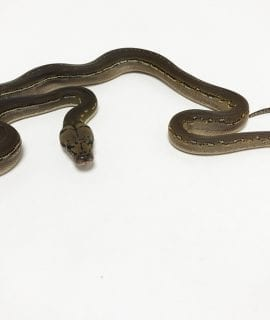 Male Phantom Anthrax Dwarf Reticulated Python CB19