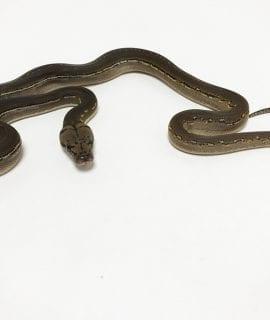 Male Phantom Anthrax Dwarf Reticulated Python CB19