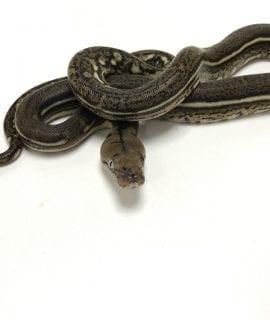 Female Anthrax Tiger Dwarf Reticulated Python CB19