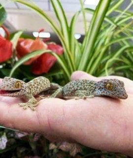 Tokay Gecko CB20