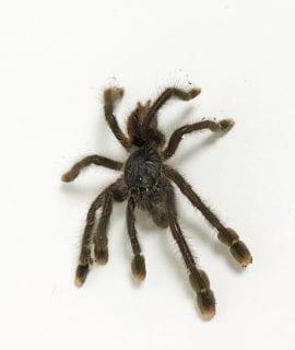 Pin Toe Tarantula