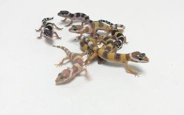 Leopard Gecko CB19