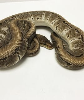 Male Pinstripe het Clown Royal Python CB 650g