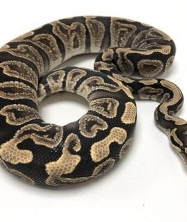 Male GHI het Clown Royal Python CB 470g