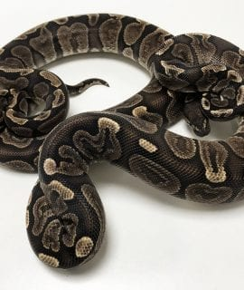 1.1 GHI Double het Snow Royal Python Pair CB 570/700g