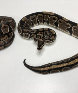 1.1 Double het Pied/ Albino Royal Python Pair CB