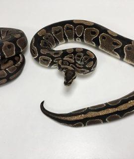 1.1 Double het Pied/ Albino Royal Python Pair CB