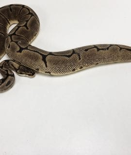 Female Spider Leopard Royal Python CB 1.7kg