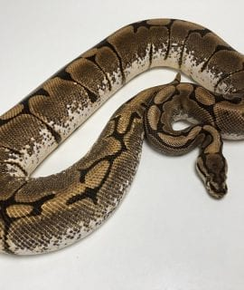Female Spider Royal Python CB 2kg
