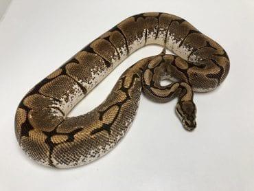 Female Spider Royal Python CB 2kg