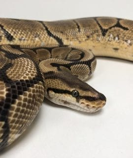 Female Spider het Clown Royal Python CB 2kg