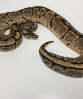 Female Spider het Clown Royal Python 1.6kg CB