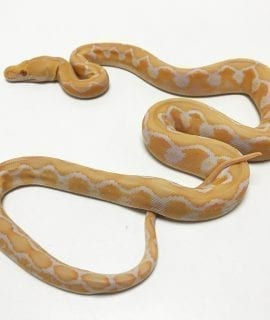 Female White Citron Mainland Reticulated Python CB19