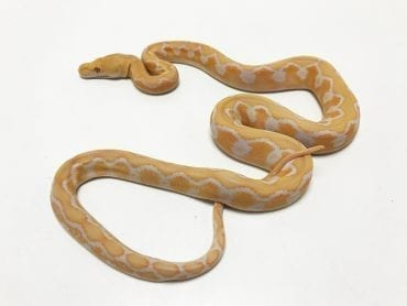 Female White Citron Mainland Reticulated Python CB19