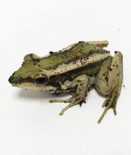 0.0.1 Common Green Frog WC