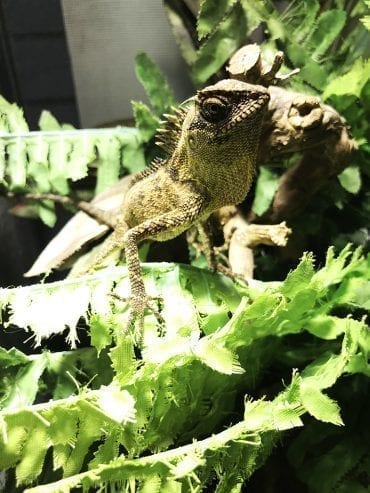 0.0.1 Mountain Horned Dragon Image