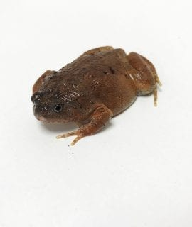 Blotched Burrowing Frog