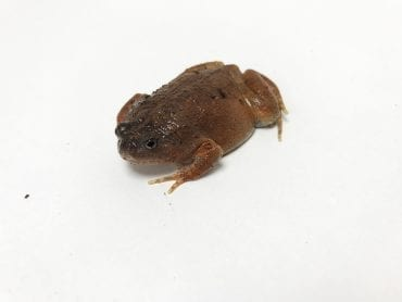 Blotched Burrowing Frog