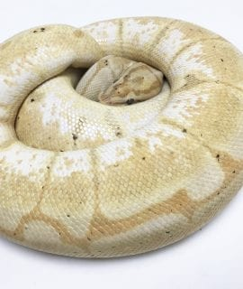 Female Banana Spider Royal Python CB 1.9kg