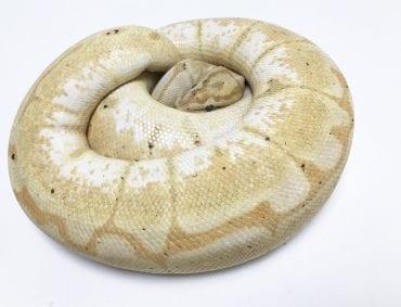Female Banana Spider Royal Python CB 1.9kg