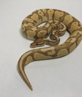 Male Banana het Pied Royal Python CB 550g