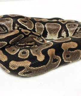 Female Classic het Clown Royal Python CB 1.65kg