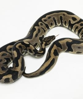 Male Leopard het Clown CB 750g
