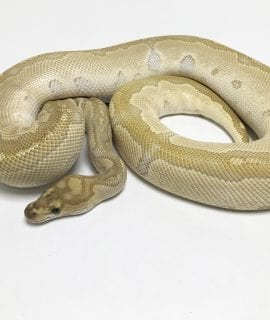 Female Lesser Clown Royal Python CB 1.2kg