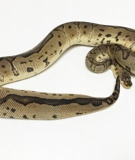 Female Pastel Clown Royal Python CB 1.1kg