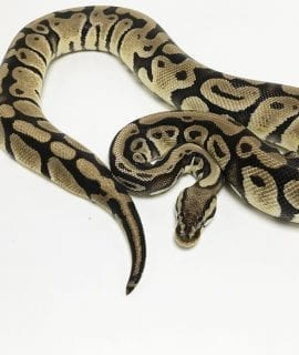 Female Pastel het Clown Royal Python CB 1.65kg