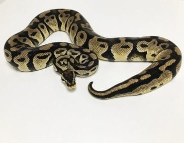 Female Pastel het Clown Royal Python CB 2kg