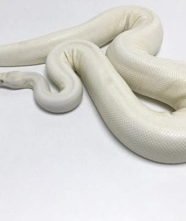Female Snow Royal Python CB 2.8kg