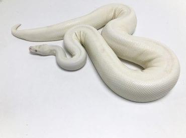 Female Snow Royal Python CB 2.8kg