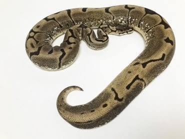 Female Spider het Pied Royal Python CB 1.8kg