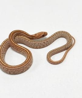 Strawberry Super Tessera het Amel, Anery Corn Snake CB19