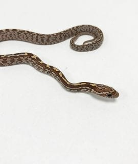 Tessera het Strawberry, Anery, Amel Corn Snake CB19